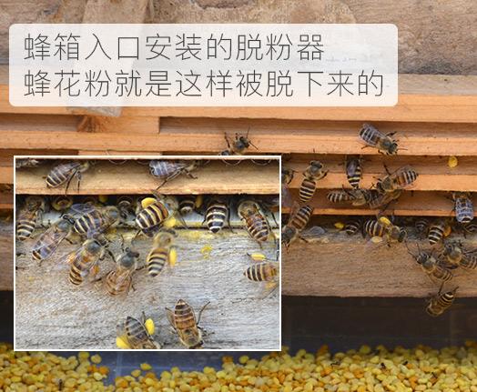 油菜花粉有什么功效