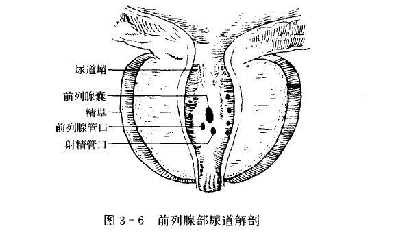 前列腺的肌肉构造结构图